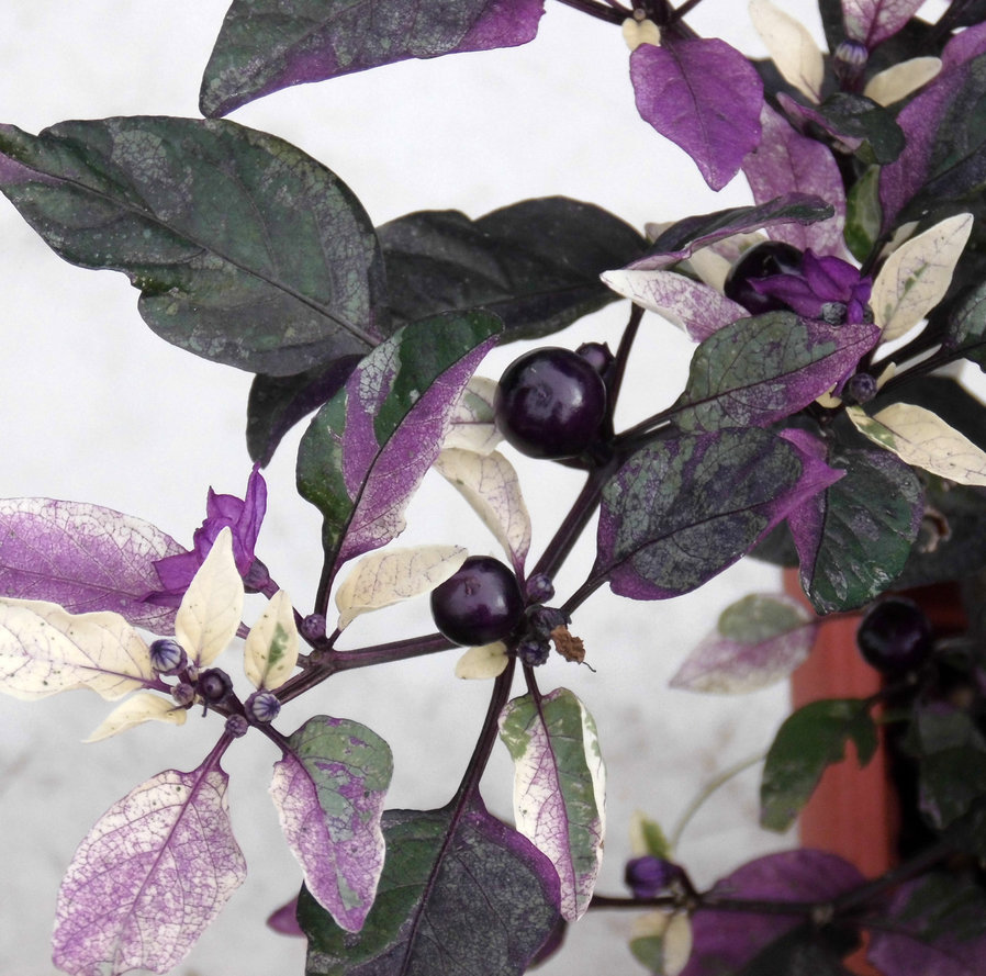 Purple Flash Ornamental Pepper