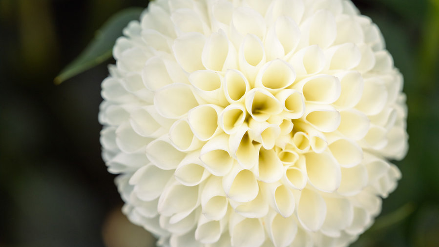 White Nettie Dahlia.jpg