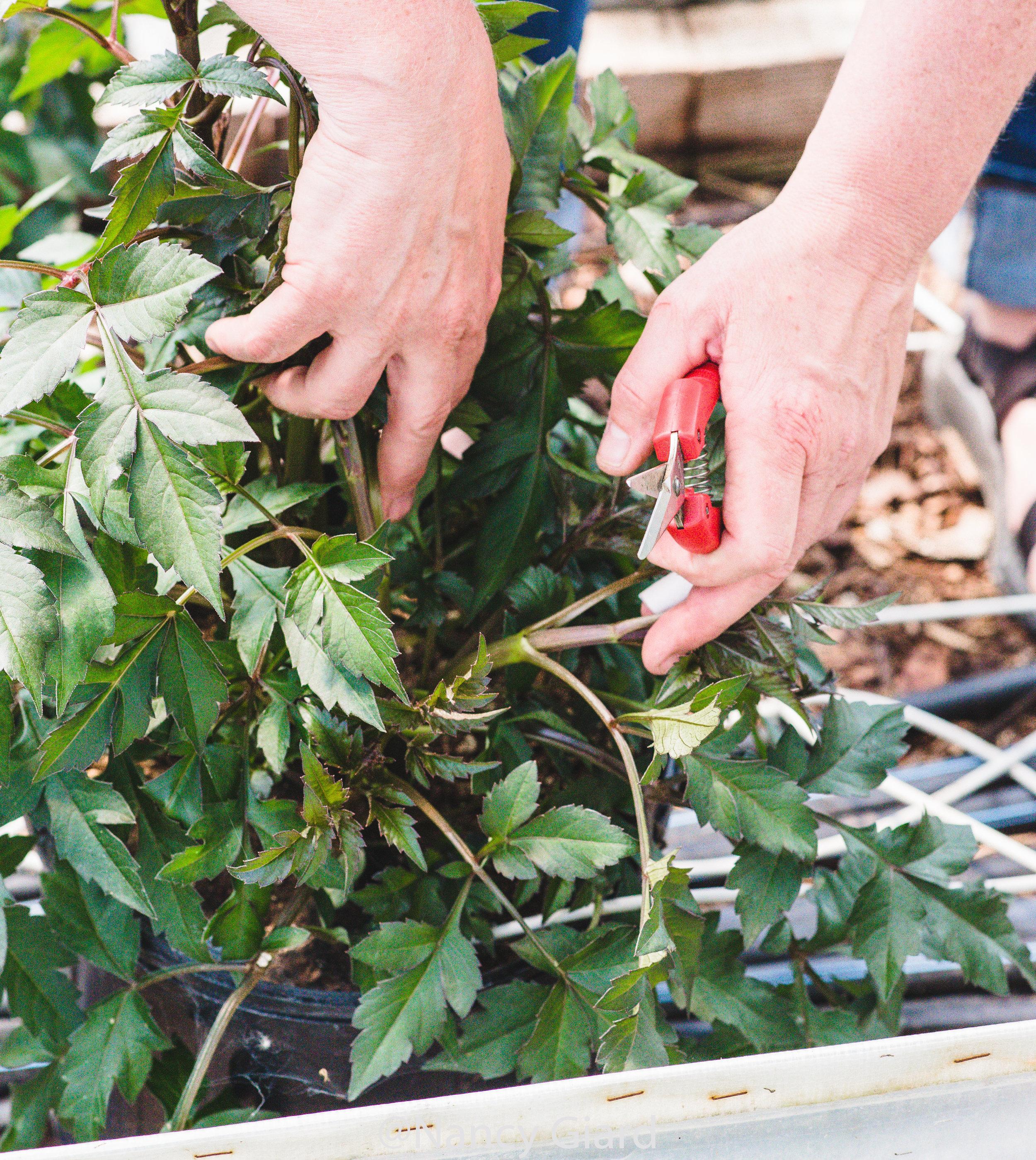 Pruning dahlias in early June.