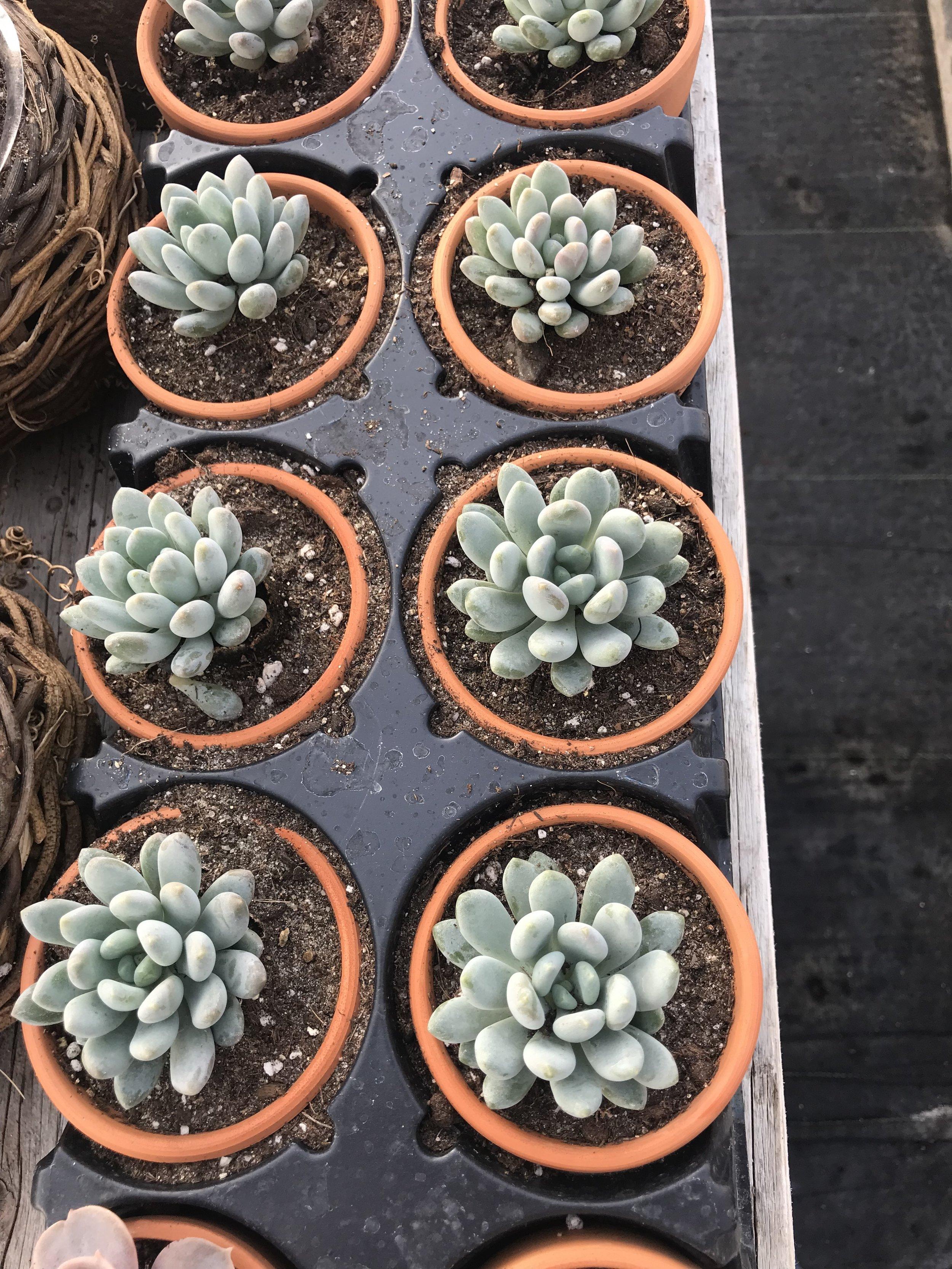 "3"" Terra Cotta Succulents"