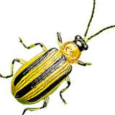 Cucumber beetle prevention starts now with row cover.