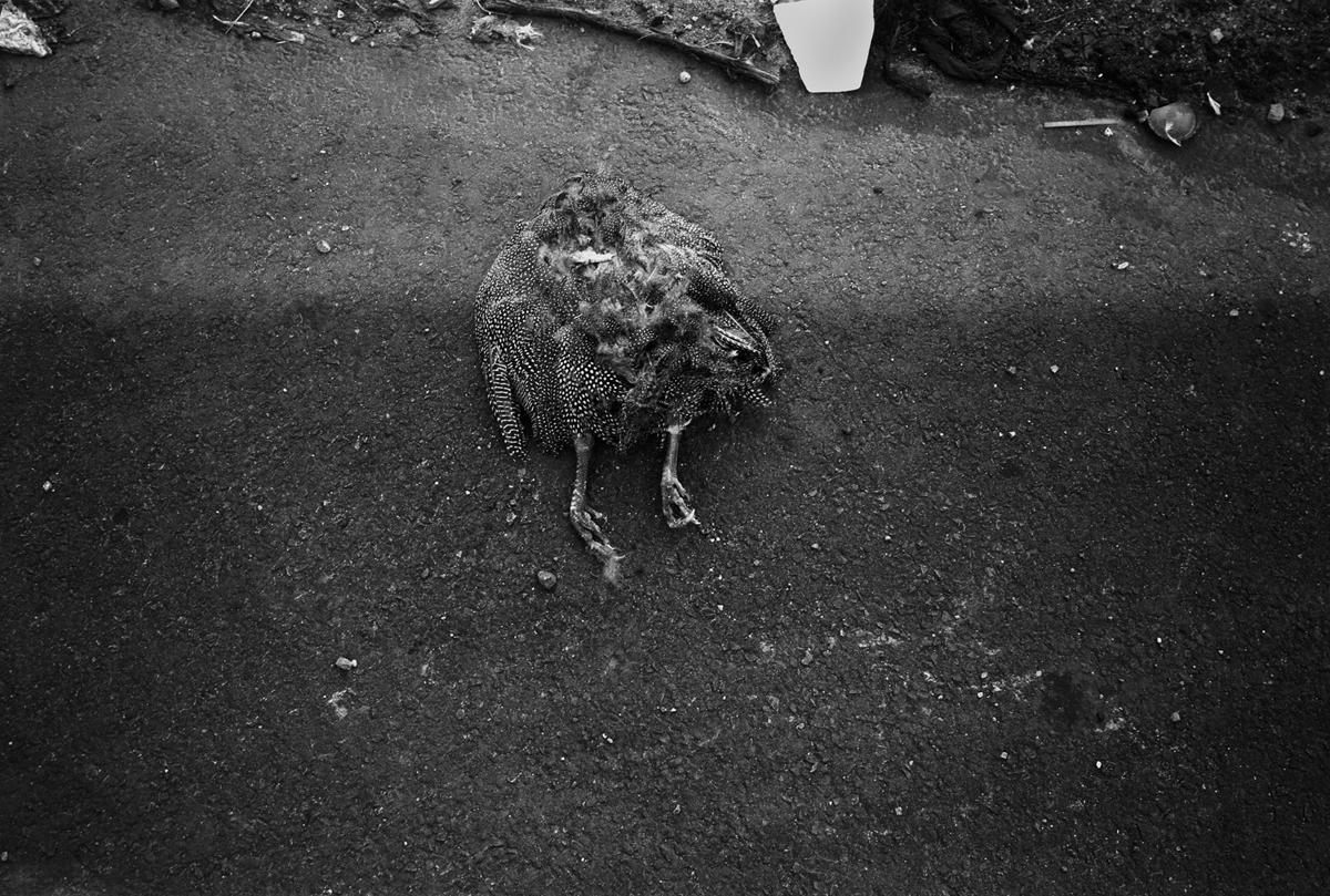 rooster copy.jpg