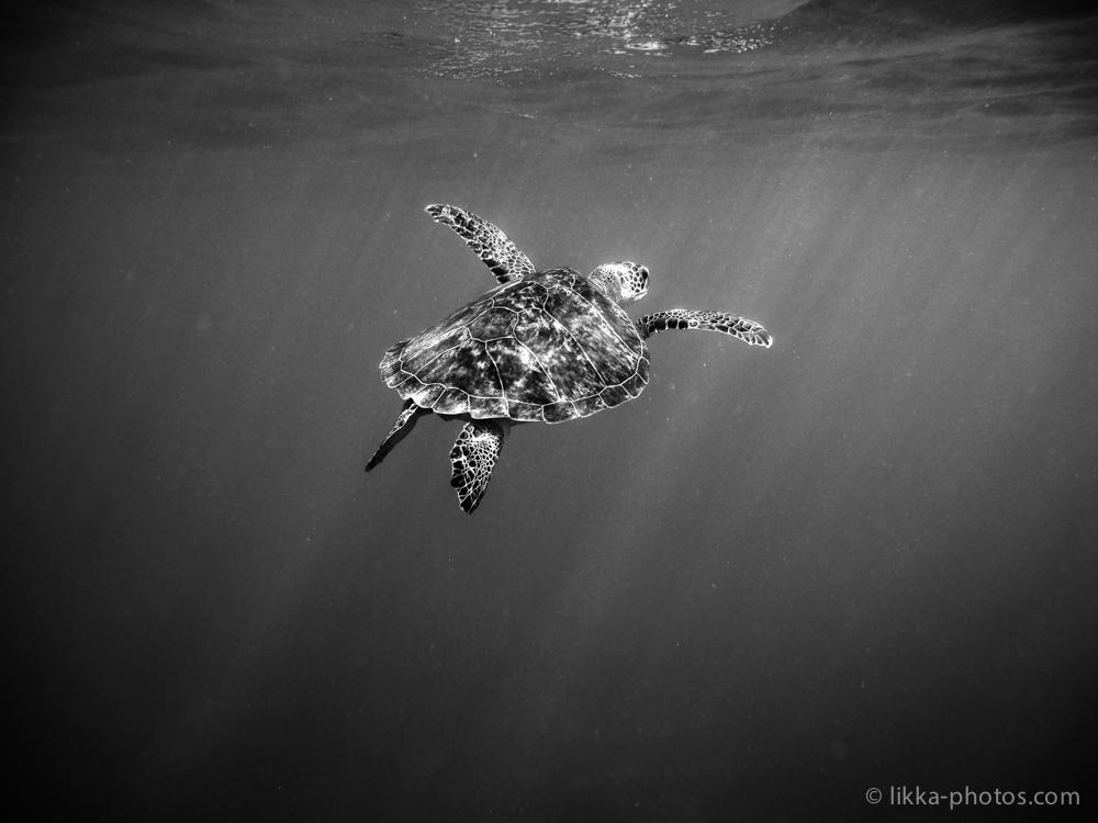 likka-turtle-bw-3.jpg