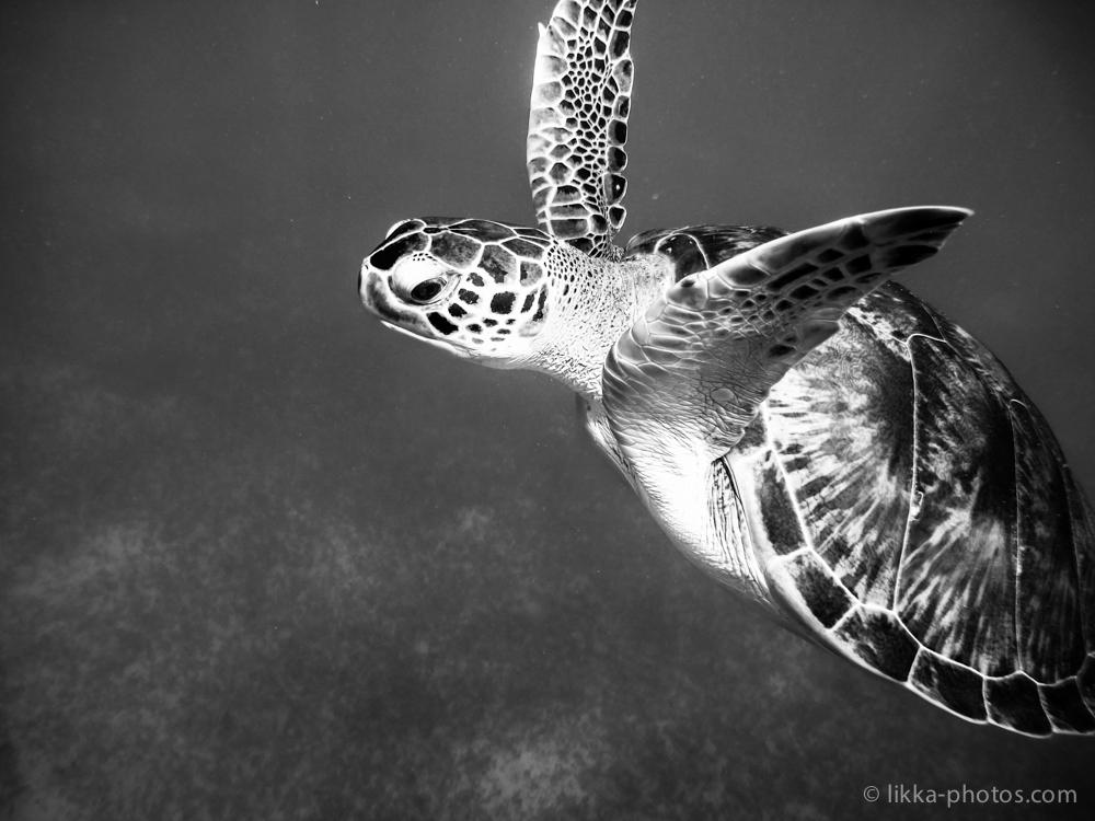 likka-turtle-bw-17.jpg
