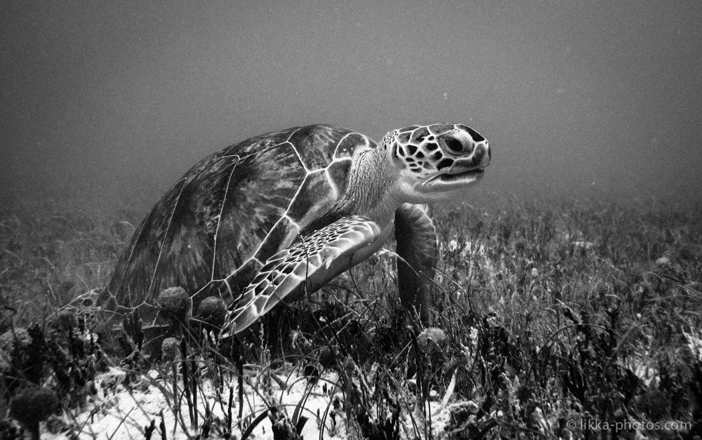 likka-turtle-bw-18.jpg