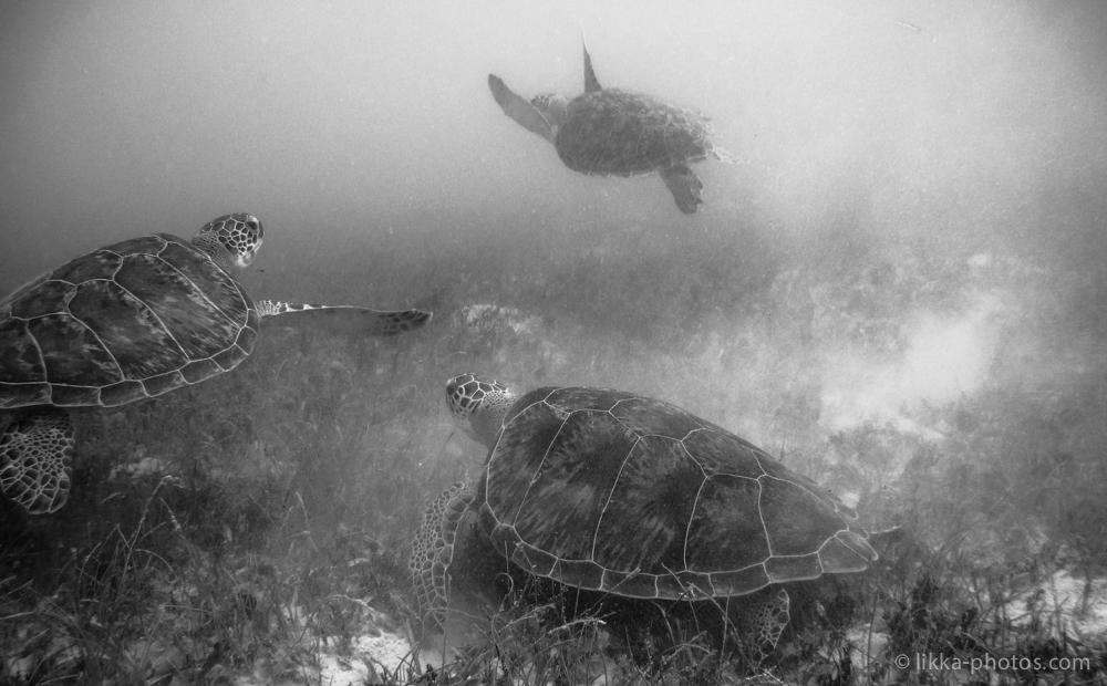 likka-turtle-bw-21.jpg