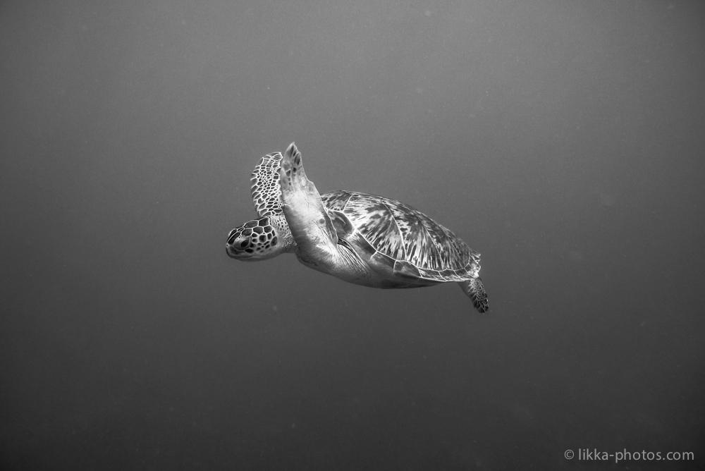 likka-turtle-bw-23.jpg