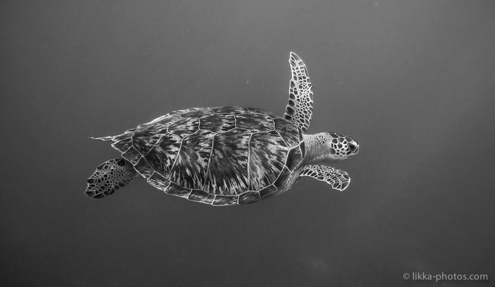 likka-turtle-bw-25.jpg