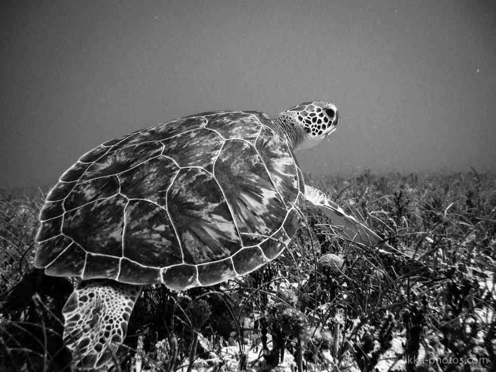 likka-turtle-bw.jpg