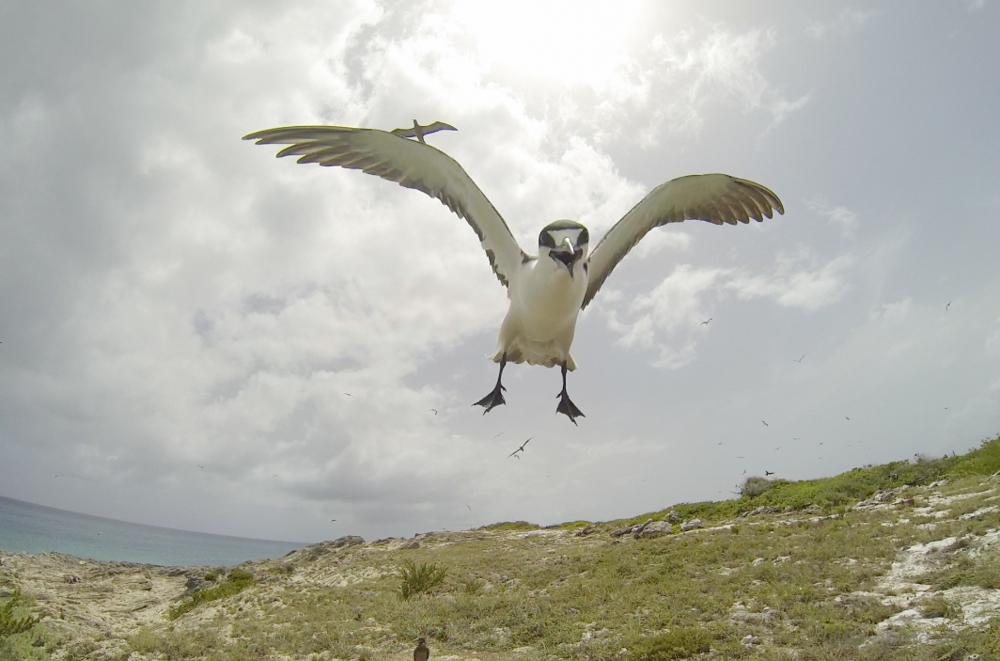 Sooty-Tern-Caribbean-04.jpg