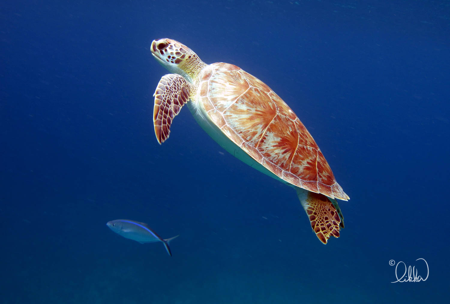 turtles-ray-barracuda-likka-2.jpg