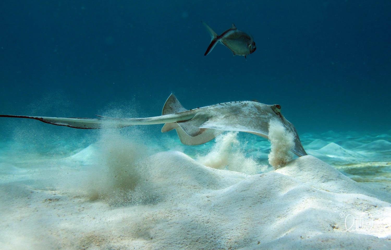 turtles-ray-barracuda-likka-9.jpg
