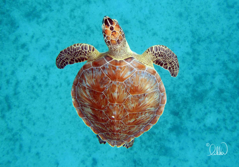 turtles-ray-barracuda-likka-3.jpg