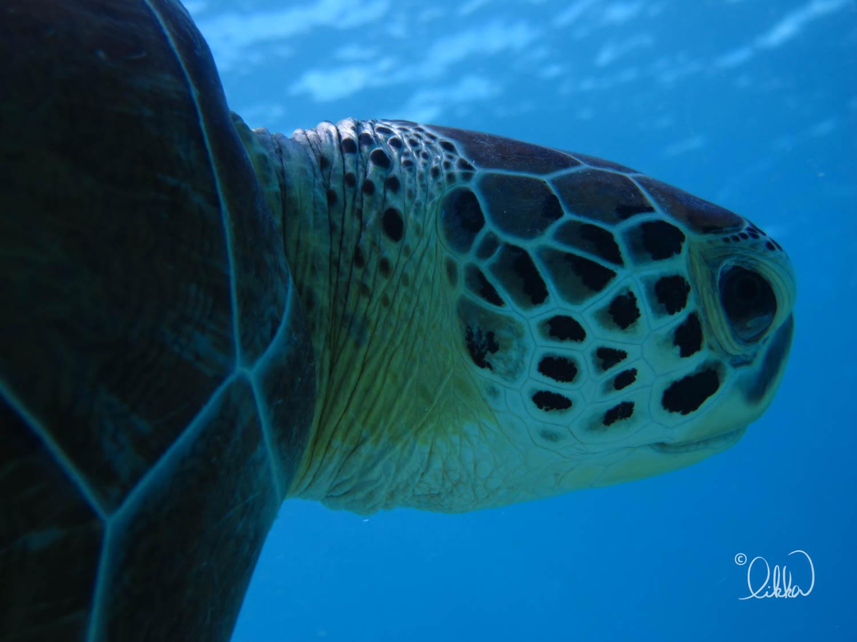 turtles-ray-barracuda-likka-26.jpg