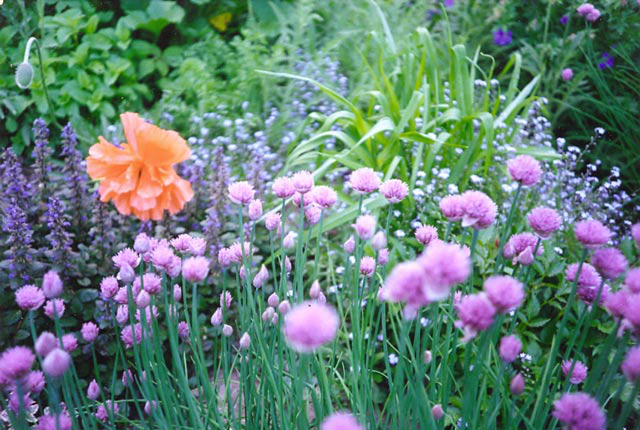 Poppies and Chives