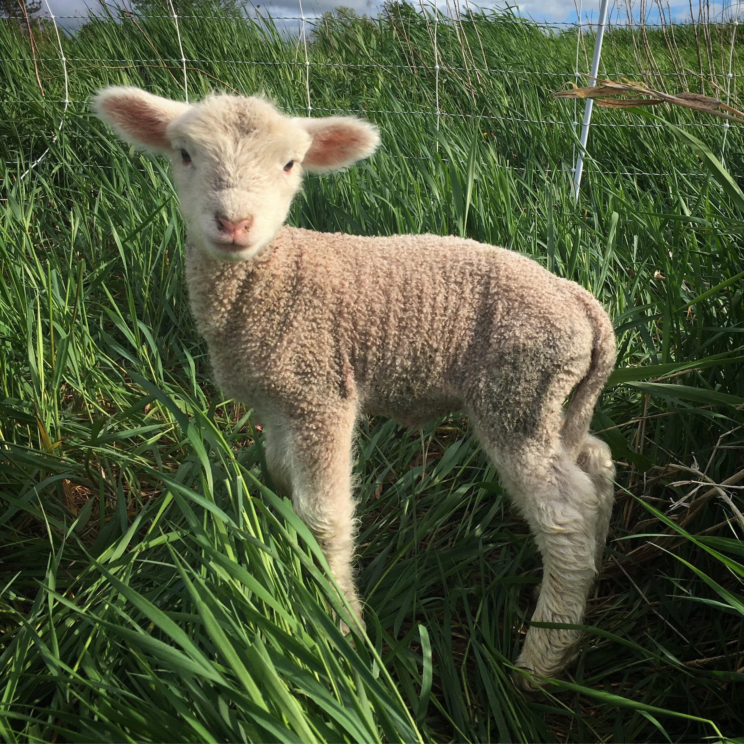 sheep - little lamb.JPG