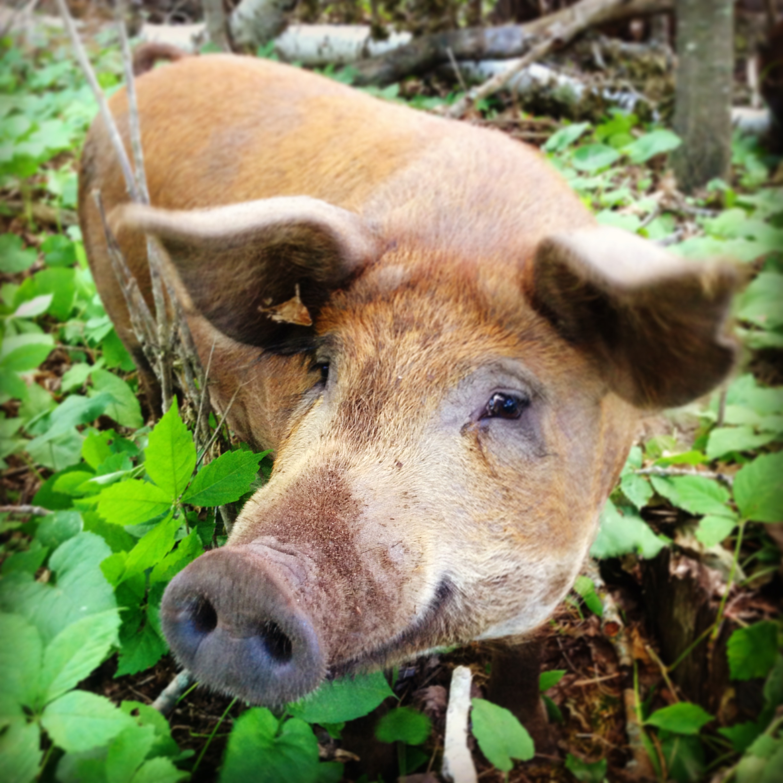 pigs - smilingpig.JPG
