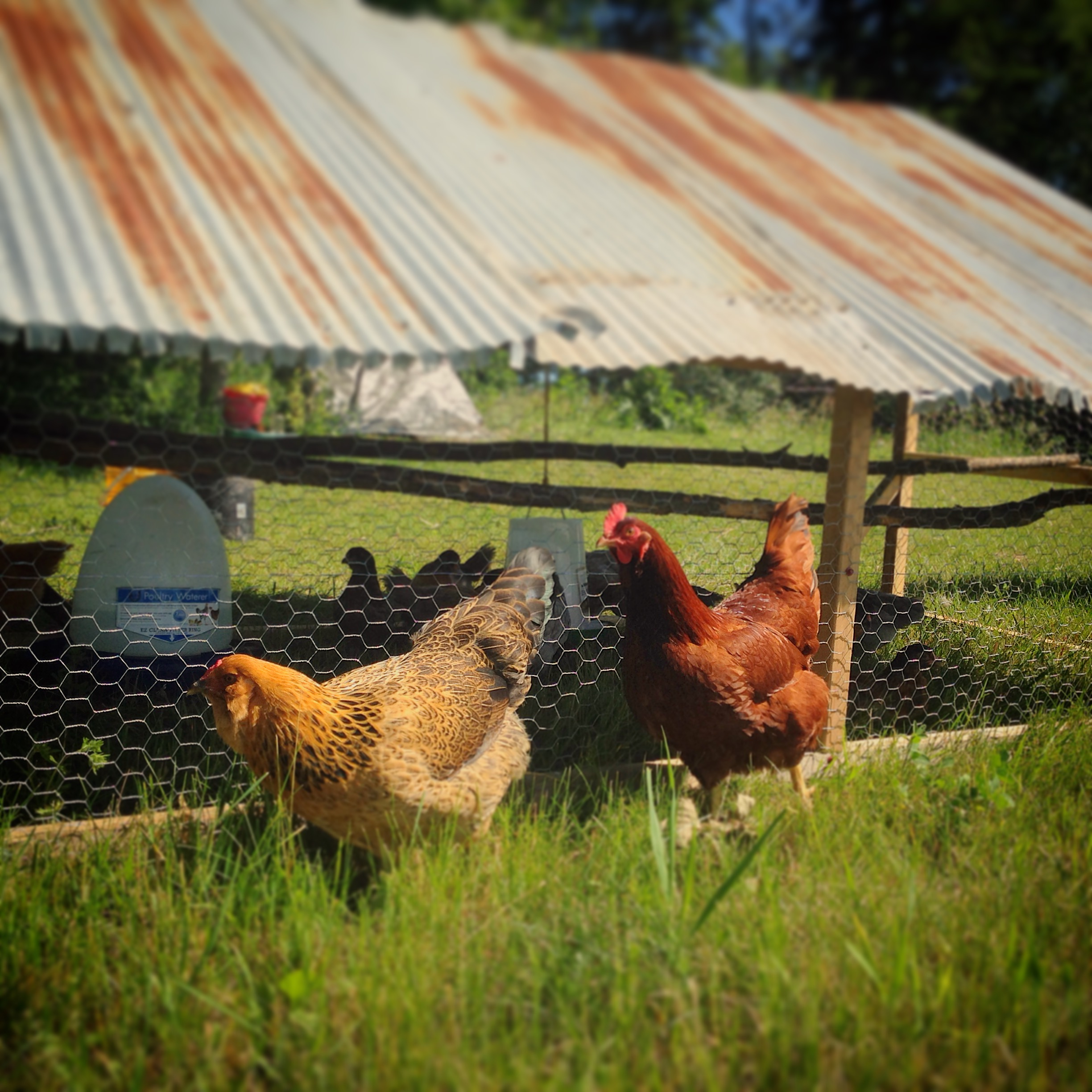 chickens - bobbi and robert.JPG