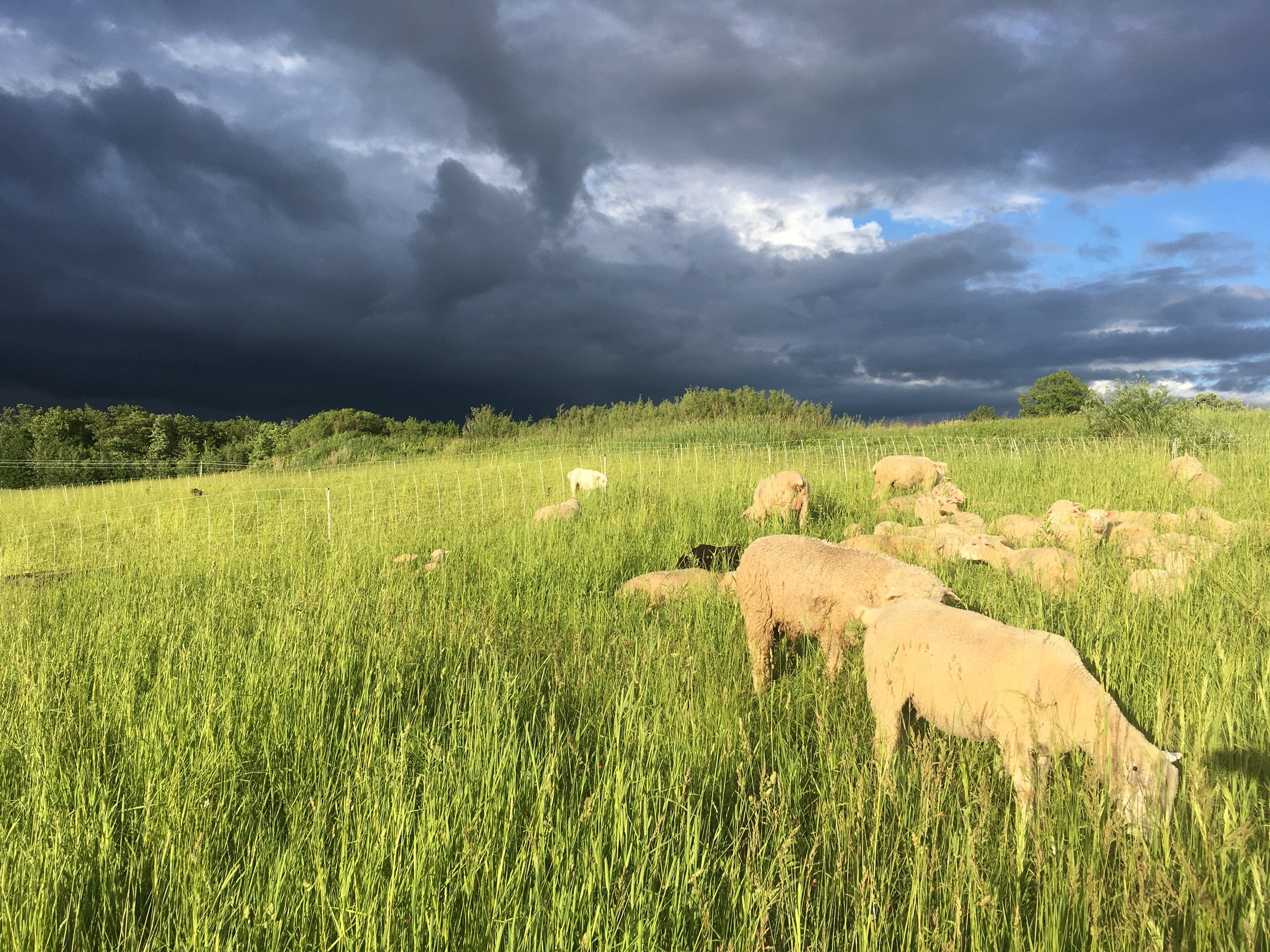 pasture - gold hour sheep.JPG
