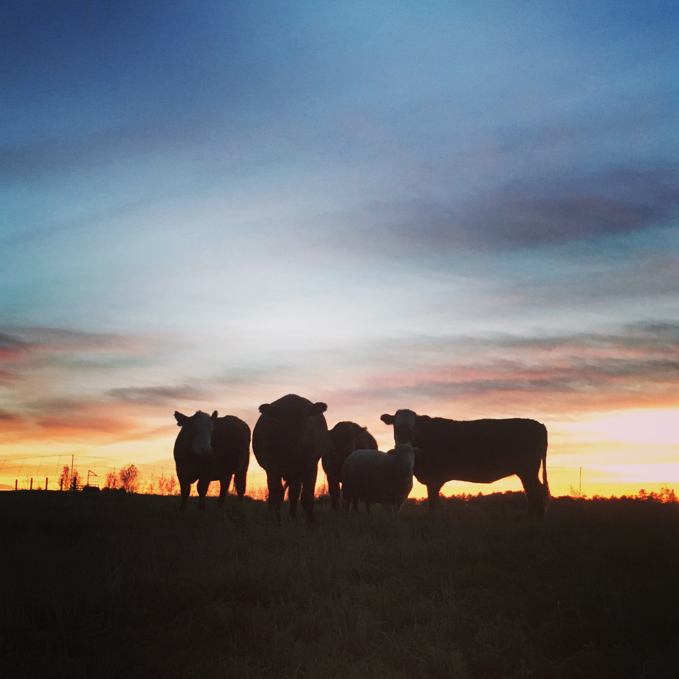cows - sillouette.JPG