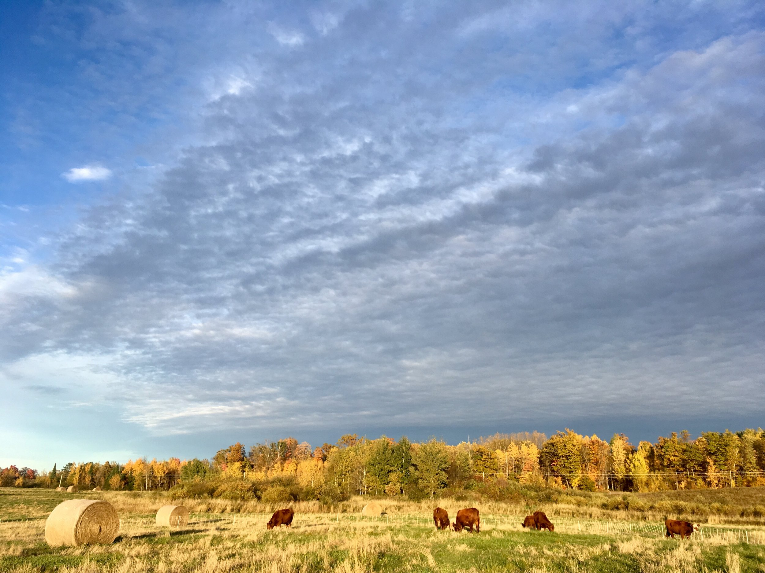 cows - pasture light.jpg