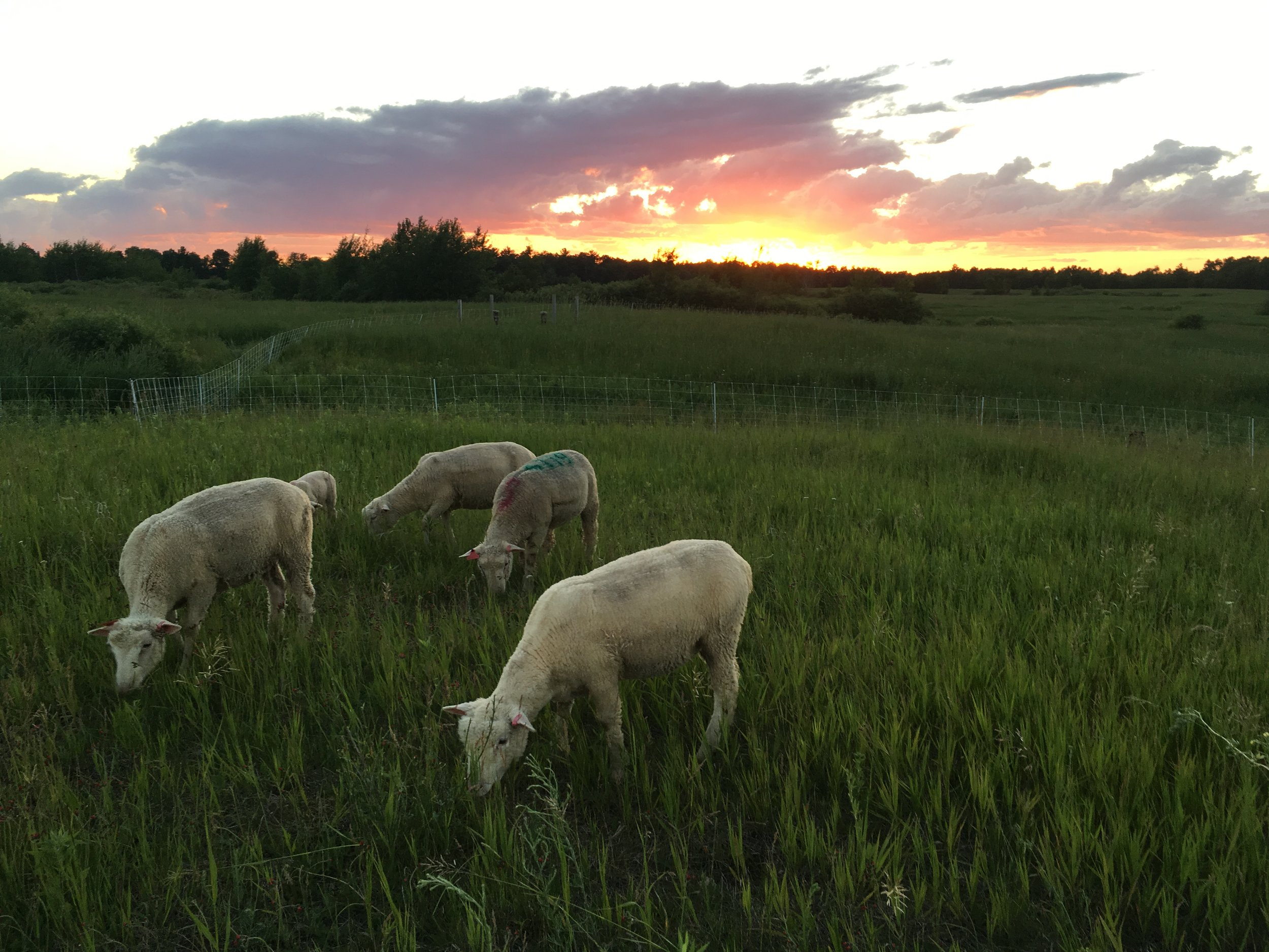 sheep - sunset.JPG