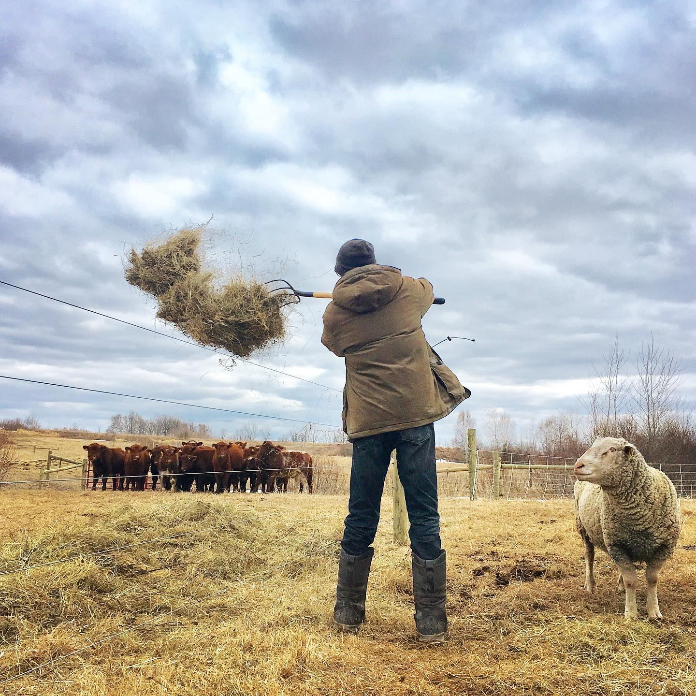cows - jason pitching hay medicine creek farm.jpg