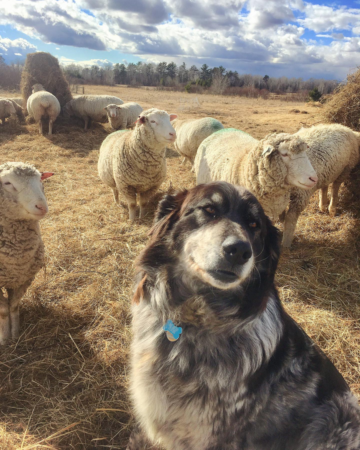 livestock guardian dog medicine creek farm.jpg