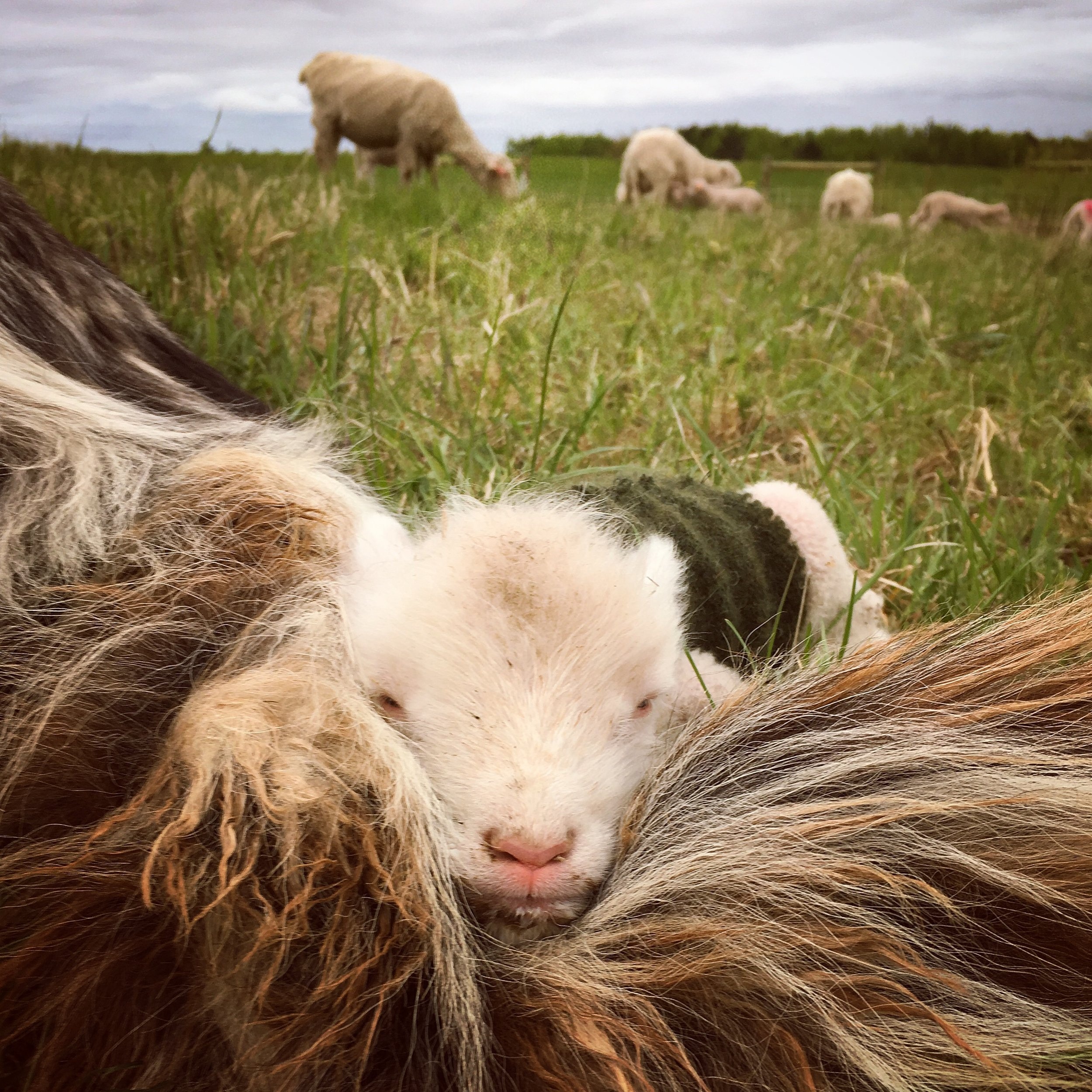 medicine creek farm - lamb livestock guardian dog.JPG