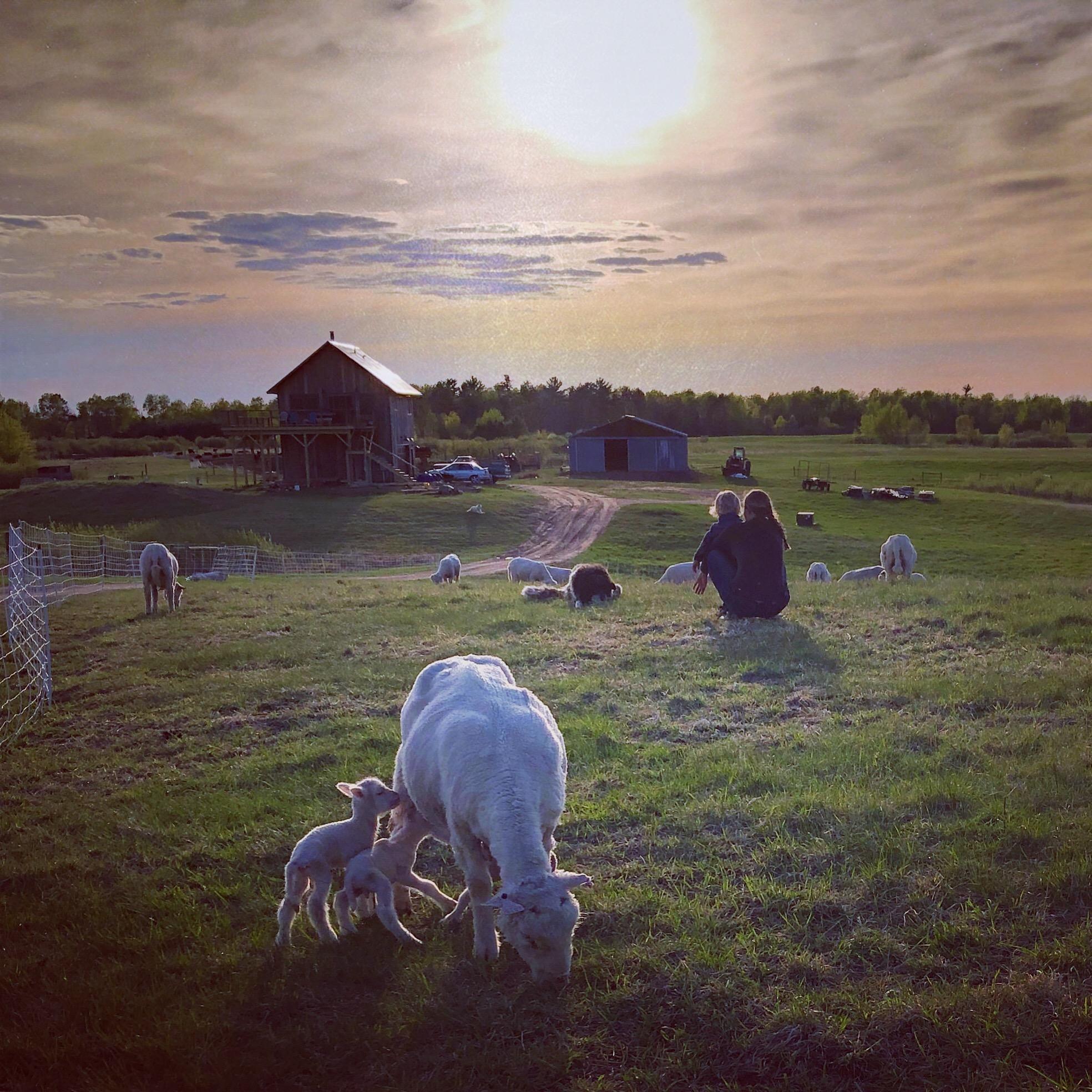 sheep - lambing season.JPG