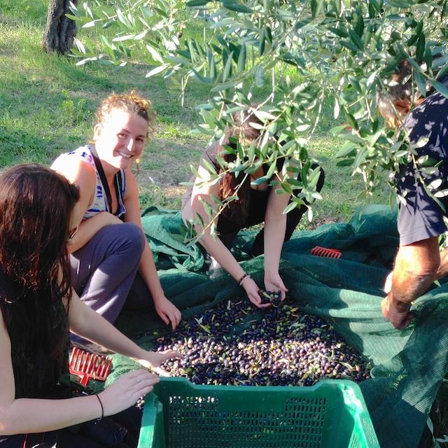 olive_picking