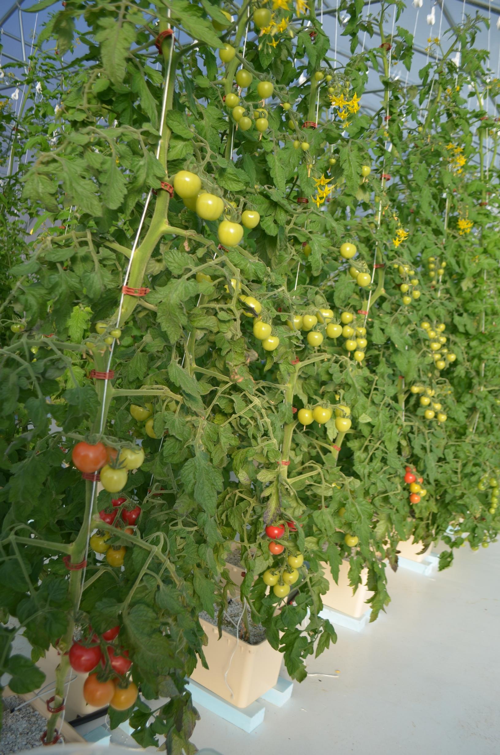 tomatoHarvest  1039.jpg
