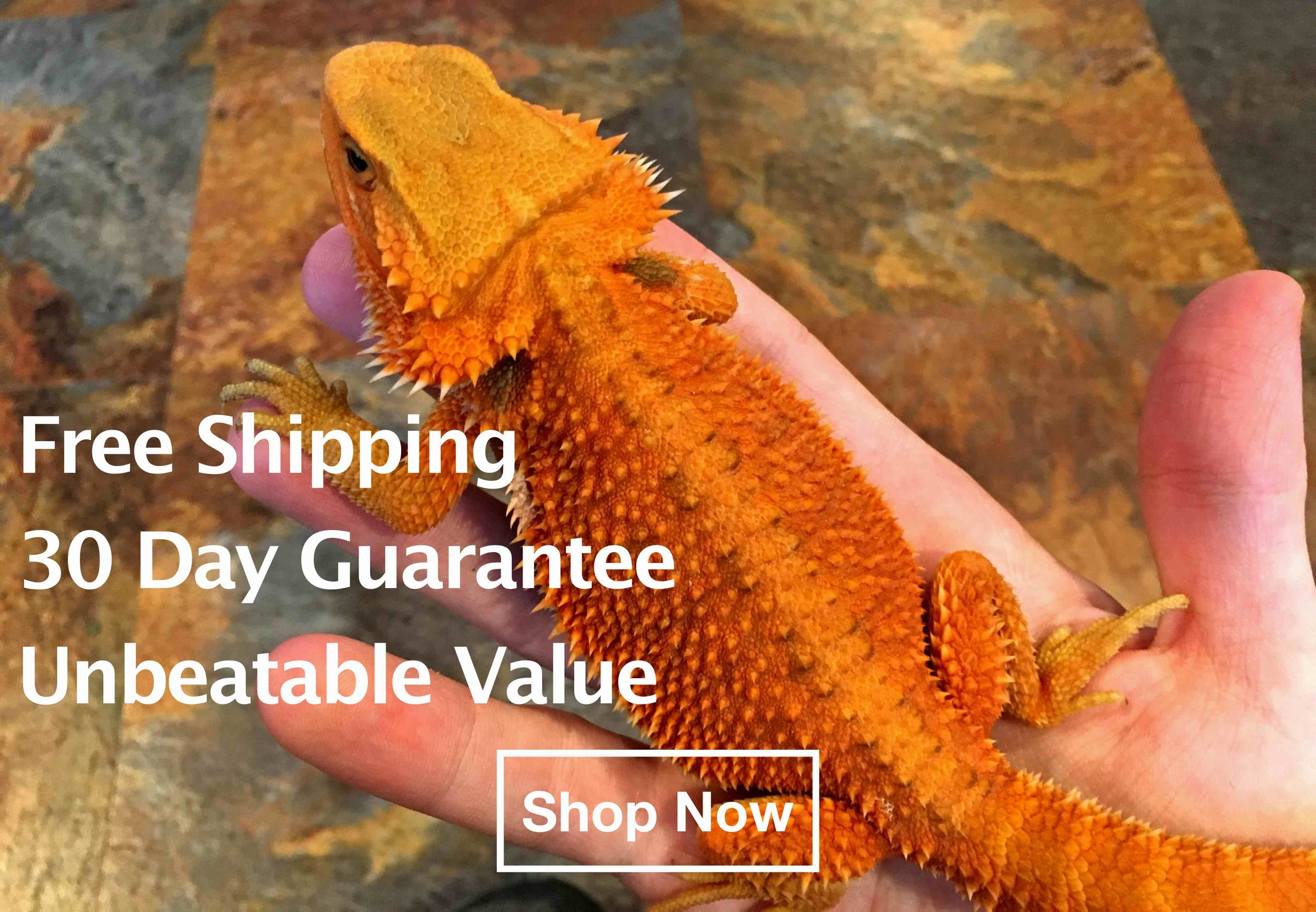Bearded dragons for sale - blood red bearded dragon