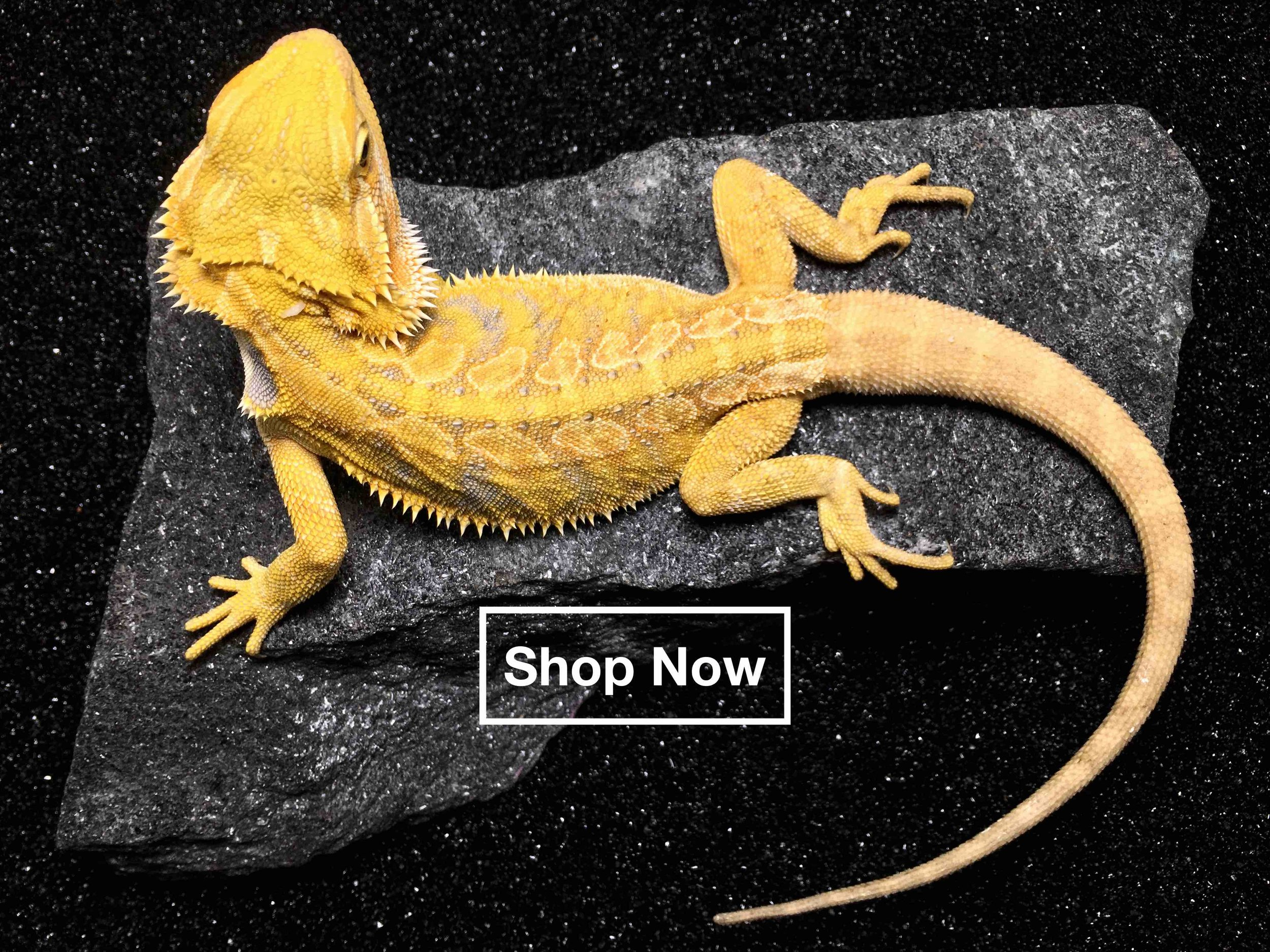 Bearded dragons for sale - citrus leatherback bearded dragon