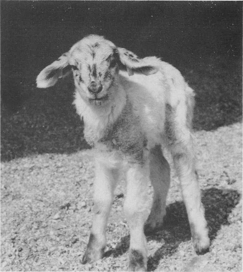 Goat/Sheep chimera. Photo credit: UCDavis