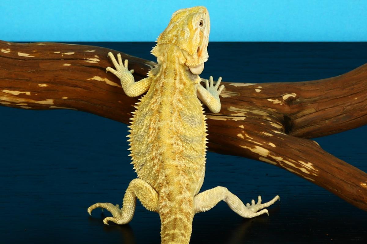 chimera bearded dragon photo.jpg
