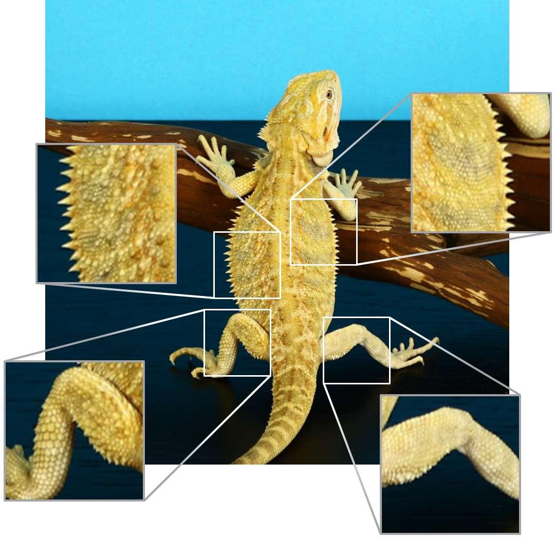 chimera bearded dragon photo diagram.jpg