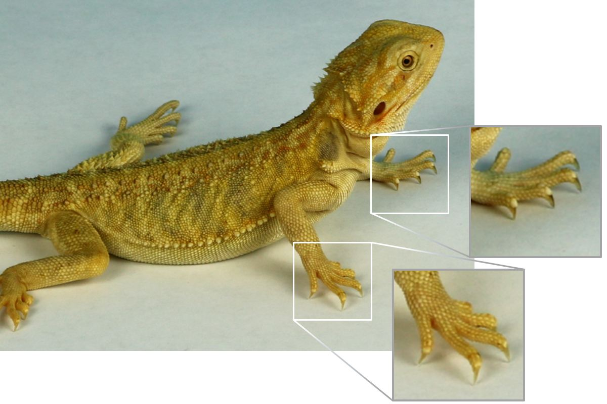 Chimera bearded dragon showing nails.jpg