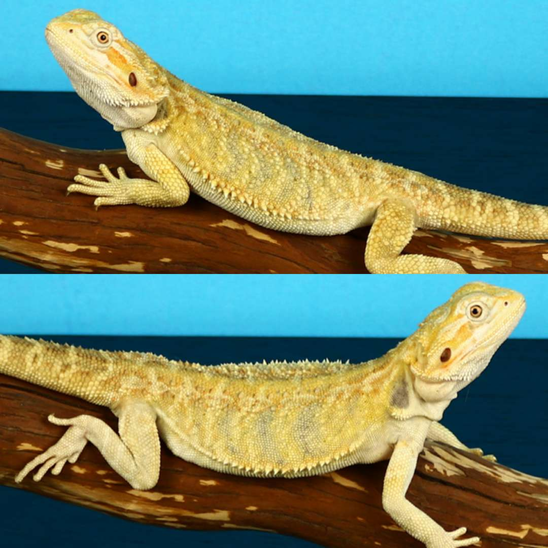Chimera bearded dragon left and right side.jpg