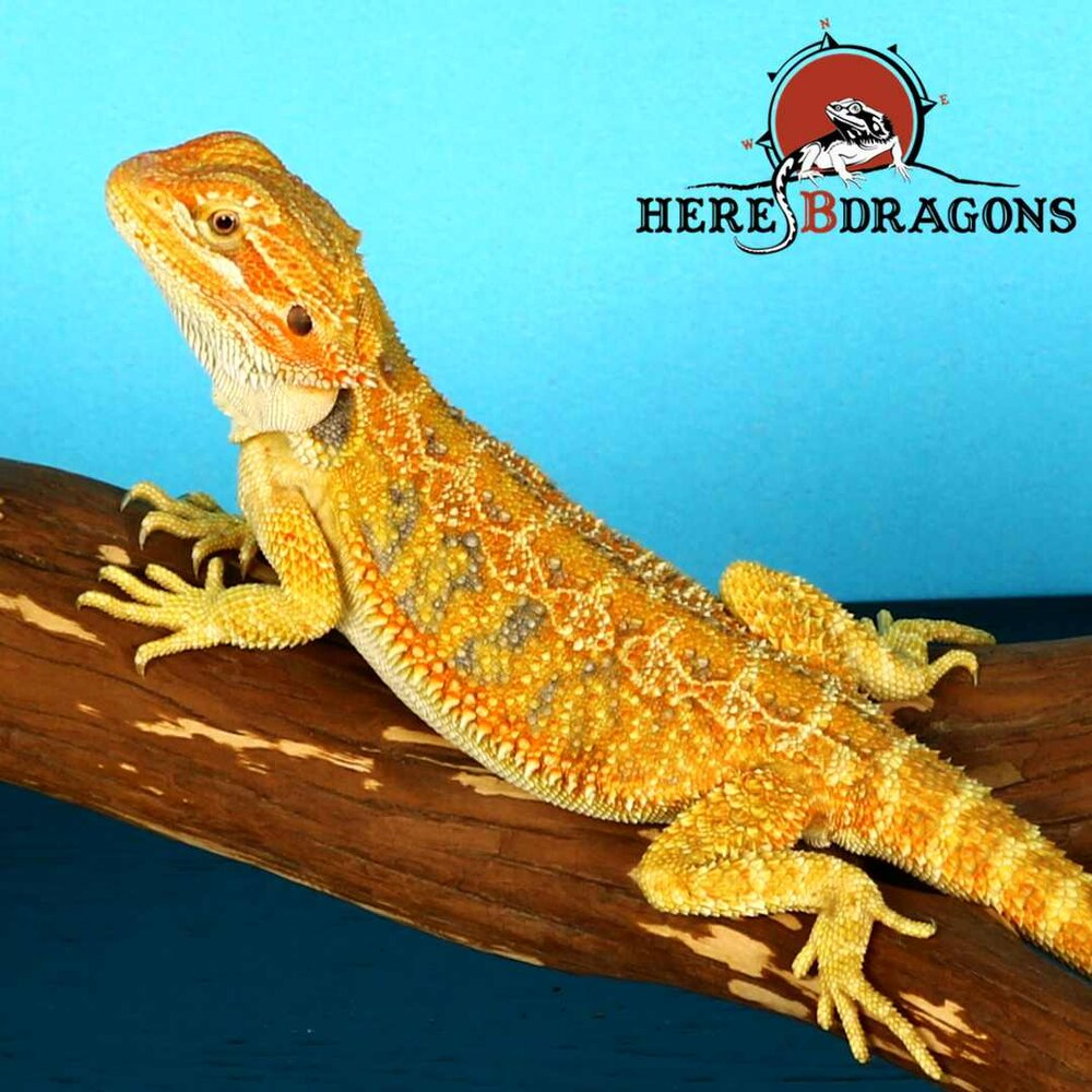 Shop Bearded Dragons — HereBDragons com