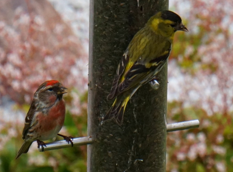 Most of us enjoy house sparrows, chaffinches, blue tits and blackbirds at our bird feeders. In Ullapool though, they get redpolls and siskins as a matter of course. How very exotic.