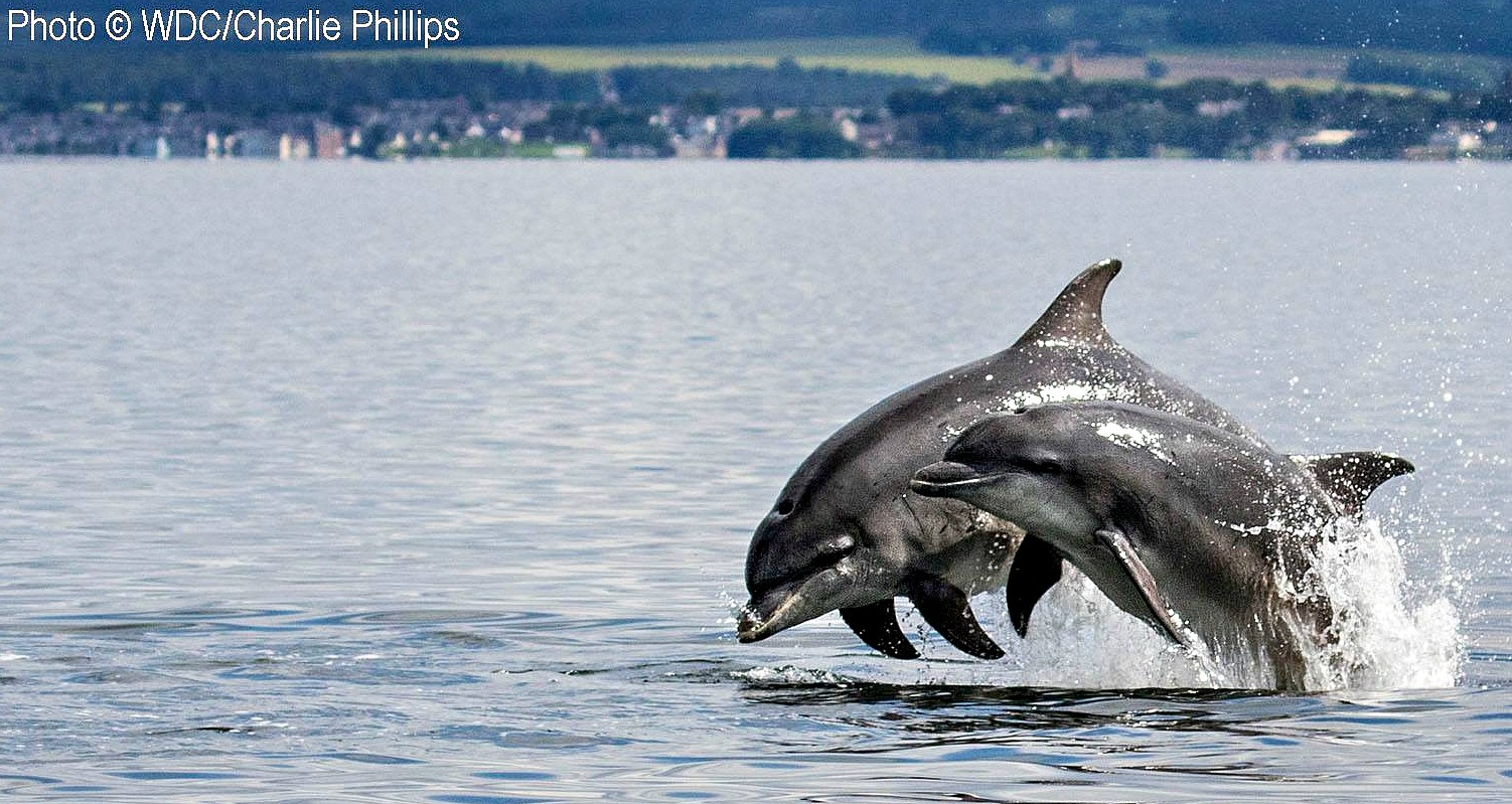 Moray Firth dolphins - well done, Charlie Phillips, Field Officer, WDC