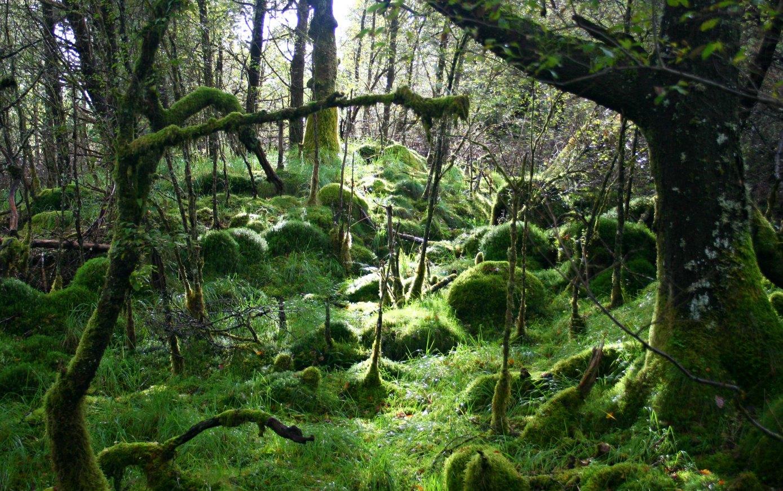 The 'Atlantic woodlands' of Ariundle.