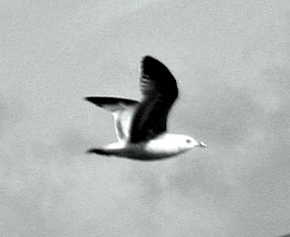 Flying gull, note dark wing forming neck shape..
