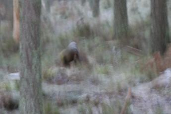 The Scottish Bigfoot