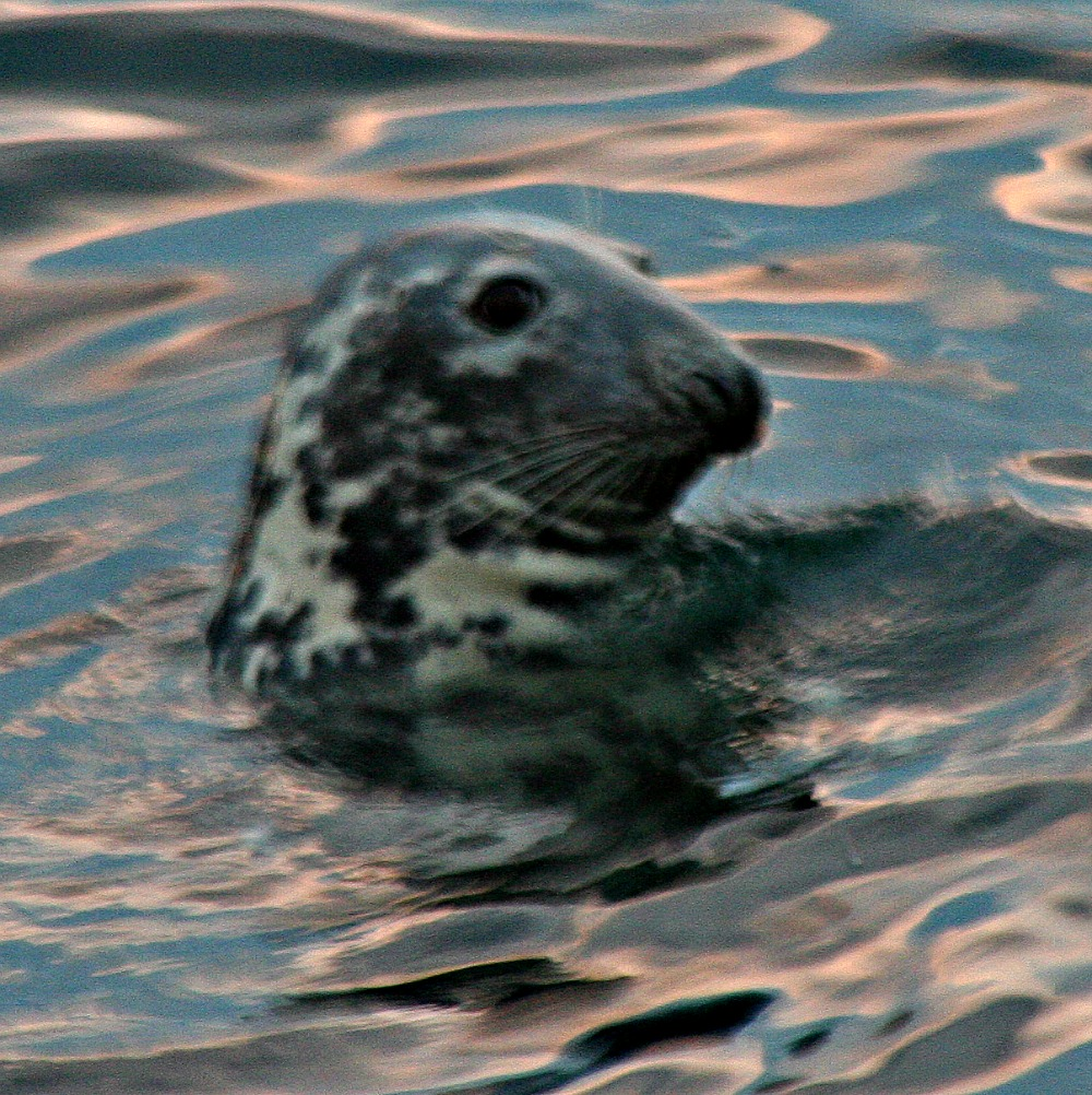Grey seal - there are plenty around.