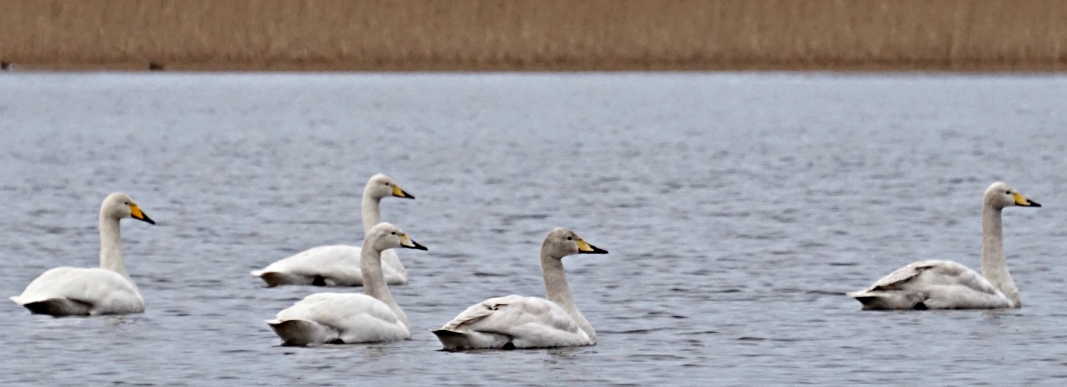 Whooper swans from the hide at the Loch of Spynie, near Elgin, Moray.