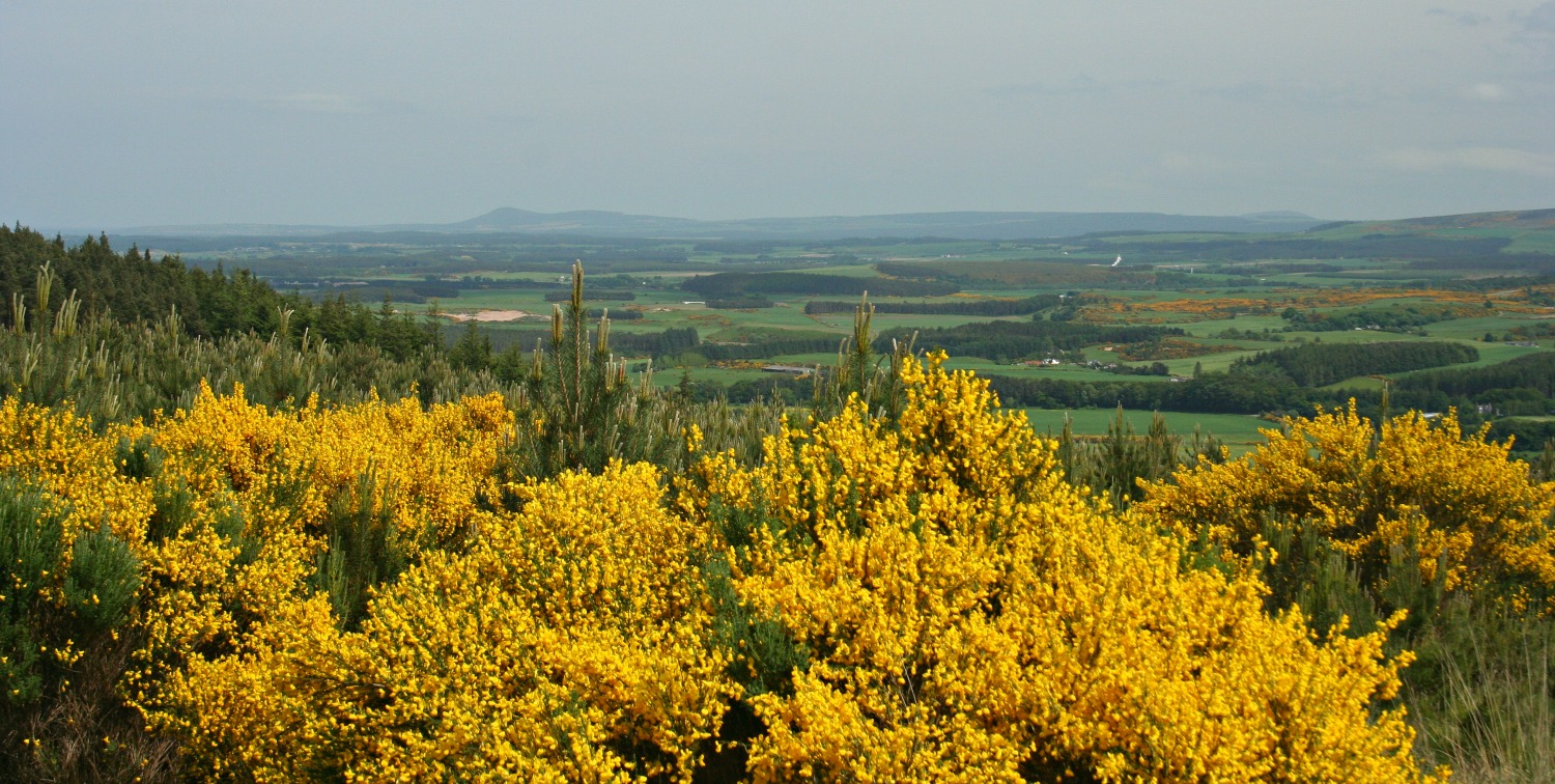 Looking east over the gorse by Monaughty (Monachty) Wood near Elgin, Moray.