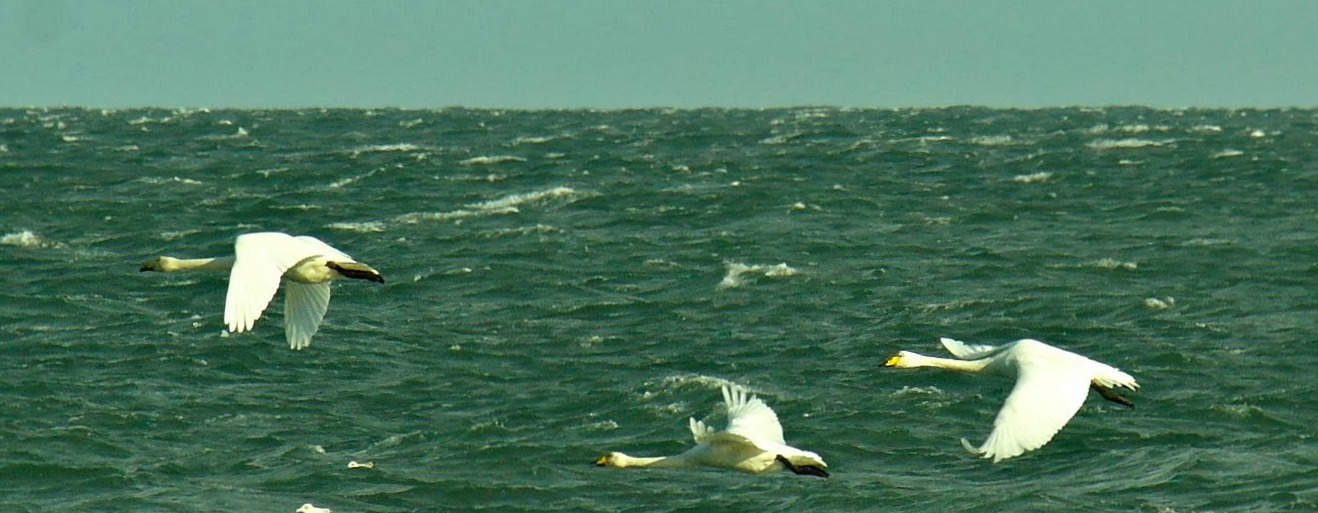 Whooper swans in winter off a beach in East Lothian - nowhere near a nature reserve - but a reminder that in wild Scotland you never know what is going to fly past!