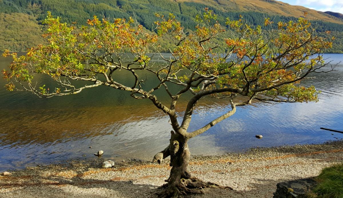 Loch Lomond oak tree